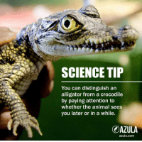 see you later alligator: SCIENCE TIP  You can distinguish an  alligator from a crocodile  ty paying attantim tn  whether the animal sees  you later or in a while  OAZULA  azula.com