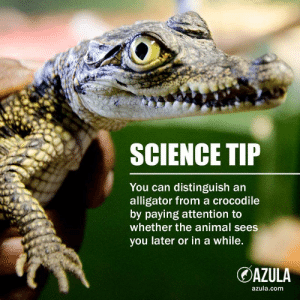 Facts, Alligator, and Animal: SCIENCE TIP  You can distinguish an  alligator from a crocodile  by paying attention to  whether the animal sees  you later or in a while.  DAZULA  azula.com Science-backed, cold hard facts