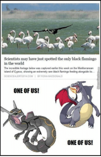 Memes, The Incredibles, and Black: Scientists may have just spotted the only blackflamingo  in the world  The incredible footage below was captured earlier this week on the Mediterranean  island of Cyprus, showing an extremely rare black flamingo feeding alongside its...  SCIENCE ALERT2014 COM I BY FIONA MACDONALD  ONE OF US!  ONE OF US! A shiny Pokemon!