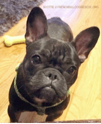 Energy, Memes, and Puppies: SCOTTIE FRENCHBULLDOGRESCUE.ORG Please welcome Scottie! This brindle cutie was surrendered on her very first birthday by her owner who sadly became too ill to care for her anymore. Scottie still has plenty of puppy energy and seems to be quite a wiggle-worm. A sweet, happy little wiggle-worm who will soon be searching for her perfect forever home!  Scottie's intake exam with the vet went well. She has a very appealing disposition and is in good health overall. Scottie does have a skin infection and cherry eye, but these are minor, and her foster mom will have her in tip-top shape in no time!    Scottie has been sticking by her foster mom's side and has been very affectionate with the resident teenager. We'll have more to report on how she interacts with others soon! In the meantime, if you'd like to sponsor sweet Scottie, head on over to her page! frenchbulldogrescue.org/help-fbrn/foster-dogs/  Thank you very much, and Happy New Year!