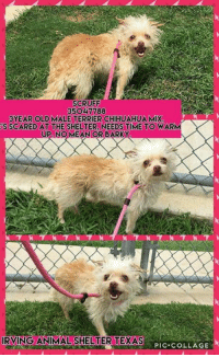 Scruff 35o4 7788 3year Old Male Terrier Chihuahua Mix S Scared At