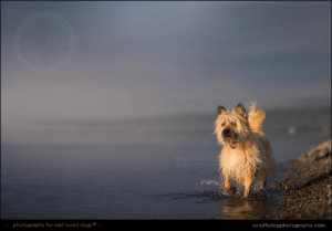 Memes, Girl, and Photography: SCRUFFY DOG  DO NOTCOPY DID  photography for well loved dogsM  Scruffydogphotography.com My girl ... with a spectacular sunset to the west, and fog rolling in across the bay from the east.