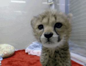 Target, Tumblr, and Animal: sdzoo:A pair of cheetah cub sisters being raised by animal care staff at the San Diego Zoo Safari Park are now 56 days old—and very active.