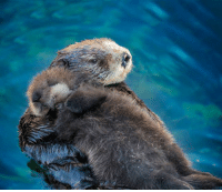 Sea otter pups always sleep on their moms: Sea otter pups always sleep on their moms