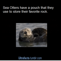 "Animals, Gif, and Head: Sea Otters have a pouch that they  use to store their favorite rock  Ultrafacts,.tumblr.com <p><a class=""tumblr_blog"" href=""http://anarchy-for-tomorrow.tumblr.com/post/139067569633"">anarchy-for-tomorrow</a>:</p> <blockquote> <p><a class=""tumblr_blog"" href=""http://mr309k.tumblr.com/post/121902163443"">mr309k</a>:</p> <blockquote> <p><a class=""tumblr_blog"" href=""http://ultrafacts.tumblr.com/post/109429974079"">ultrafacts</a>:</p> <blockquote> <p><a class=""tumblr_blog"" href=""http://vancity604778kid.tumblr.com/post/109404680693"">vancity604778kid</a>:</p> <blockquote> <p><a class=""tumblr_blog"" href=""http://ultrafacts.tumblr.com/post/101299764841"">ultrafacts</a>:</p> <blockquote> <p><a class=""tumblr_blog"" href=""http://eevil-sdrawkcab.tumblr.com/post/80672837722"">eevil-sdrawkcab</a>:</p> <blockquote> <p><a class=""tumblr_blog"" href=""http://ultrafacts.tumblr.com/post/80656749982"">ultrafacts</a>:</p> <blockquote> <p><a href=""http://ultrafacts.tumblr.com/""><b>More Ultrafacts</b></a> <a href=""http://en.wikipedia.org/wiki/Sea_otter"">(Source</a>)</p> </blockquote> <p>Ahahaha why a rock!?</p> </blockquote> <p>They use the rock as a tool to crack open clams and sometimes they play with it for fun. P.S: Not just sea otters, but ALL otters do this :)</p> <img src=""https://78.media.tumblr.com/07a0370d586b577bca6a4c7159c0167e/tumblr_ne8fgm8NGq1rhavdko1_400.gif"" alt=""""/></blockquote> <p><img src=""https://78.media.tumblr.com/74306a95ba2a3300ff4045266b687ac1/tumblr_niwehipYjy1smkbx3o2_500.gif"" alt=""""/></p> </blockquote> <p><img src=""https://78.media.tumblr.com/61d4e6dcdc752e5192f0b20a6470419b/tumblr_niwehipYjy1smkbx3o7_r1_500.gif"" alt=""""/></p> </blockquote> <p>this is adorable</p> </blockquote> <p>They also rape baby seals: <a href=""http://news.discovery.com/animals/the-other-side-of-otters.htm"">http://news.discovery.com/animals/the-other-side-of-otters.htm</a></p> </blockquote>  <blockquote><p>  A weaned harbor seal pup was resting onshore when an untagged male sea otter approached it, grasped it with its teeth and forepaws, bit it on the nose, and flipped it over. The harbor seal moved toward the water with the sea otter following closely. Once in the water, the sea otter gripped the harbor seal's head with its forepaws and repeatedly bit it on the nose, causing a deep laceration. The sea otter and pup rolled violently in the water for approximately 15 min, while the pup struggled to free itself from the sea otter's grasp. Finally, the sea otter positioned itself dorsal to the pup's smaller body while grasping it by the head and holding it underwater in a position typical of mating sea otters. As the sea otter thrust his pelvis, his penis was extruded and intromission was observed. At 105 min into the encounter, the sea otter released the pup, now dead, and began grooming.</p><p>On some occasions, they further note, otters would guard and copulate with the seals long after their victims had died -– as much as seven days afterward, in fact.</p></blockquote><p>&hellip;Well then.</p>"