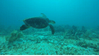 Mexico, Turtle, and Sea Turtle: Sea Turtle in Mexico