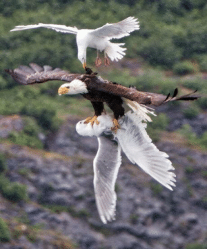 Eagle, Bald Eagle, and Friend: Seagull tries to save his friend from the clutches of a bald eagle