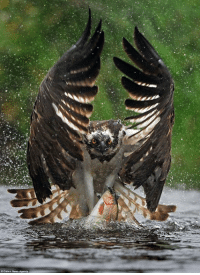 Seahawk catching a rainbow trout: Seahawk catching a rainbow trout