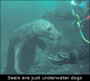 Dogs, Funny, and Gif: Seals are just underwater dogs Funny seal video gif