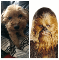 Separated at birth? chewbacca yorkiesofinstagram yorkie starwars: Separated at birth? chewbacca yorkiesofinstagram yorkie starwars