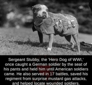awesomacious:  Hero of ww1: Sergeant Stubby, the 'Hero Dog of WWI,  once caught a German soldier by the seat of  his pants and held him until American soldiers  came. He also served in 17 battles, saved his  regiment from surprise mustard gas attacks,  and helped locate wounded soldiers. awesomacious:  Hero of ww1