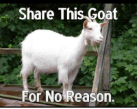 Share This Goat  For No Reason. Share it