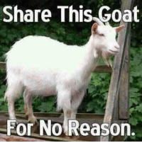 Share This Goat  For No Reason. Why not...