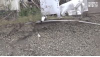Memes, Pup, and 🤖: SHARED BY  NTD TV What an amazing display of compassion by this mama cat helping the tiny puppy out of the ditch to safety...... and maybe the person filming this should have put the camera/phone down and helped the little pup.