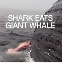 Memes, Shark, and Giant: SHARK EATS  GIANT WHALE 26 APR: A great white shark is filmed tearing into the carcass of a humpback whale. Find out more: bbc.in-sharkattack GreatWhiteSharks GreatWhiteShark Sharks Shark Humpback HumpbackWhale Whale NewportBeach BBCShorts BBCNews @BBCNews