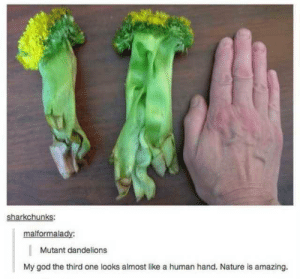 God, Nature, and Amazing: sharkchunks  malformalady:  Mutant dandelions  My god the third one looks almost like a human hand. Nature is amazing. Mutant dandelions