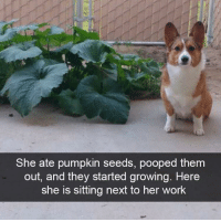 """<p>What a dog via /r/memes <a href=""""http://ift.tt/2t2W0Bu"""">http://ift.tt/2t2W0Bu</a></p>: She ate pumpkin seeds, pooped them  out, and they started growing. Here  she is sitting next to her work <p>What a dog via /r/memes <a href=""""http://ift.tt/2t2W0Bu"""">http://ift.tt/2t2W0Bu</a></p>"""