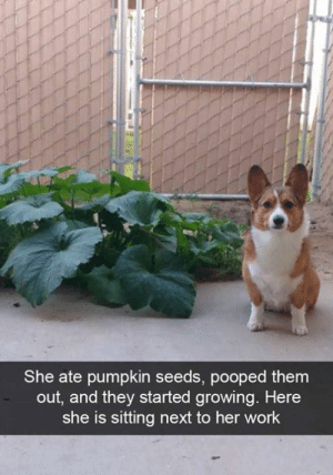 Dank, Work, and Pumpkin: She ate pumpkin seeds, pooped them  out, and they started growing. Here  she is sitting next to her work Proud doggo.
