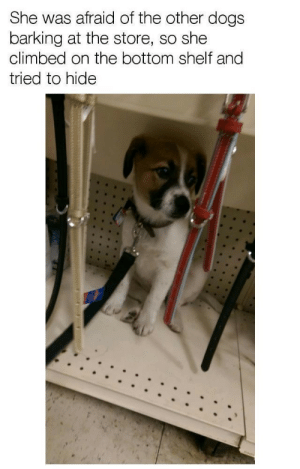 Dogs, Hide, and She: She was afraid of the other dogs  barking at the store, so she  climbed on the bottom shelf and  tried to hide Scared Pupper