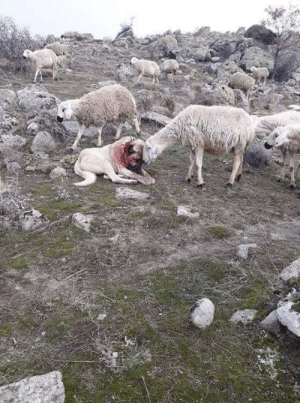 Sheep shows gratitude to the dog after saving them from a wolf attack. (Source): Sheep shows gratitude to the dog after saving them from a wolf attack. (Source)