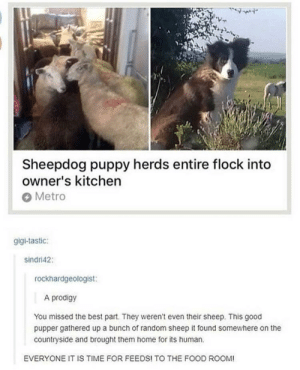 Food, Best, and Good: Sheepdog puppy herds entire flock into  owner's kitchen  Metro  gigi-tastic:  sindri42:  rockhardgeologist:  A prodigy  You missed the best part. They weren't even their sheep. This good  pupper gathered up a bunch of random sheep it found somewhere on the  countryside and brought them home for its human  EVERYONE IT IS TIME FOR FEEDS! TO THE FOOD ROOM! Good herd boy