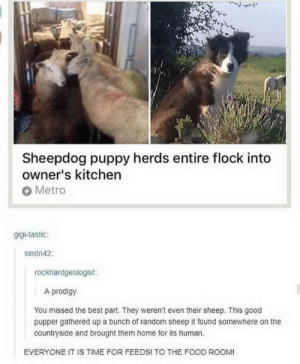 Food, Best, and Good: Sheepdog puppy herds entire flock into  owner's kitchen  Metro  gigi-tastic:  sindri42  rockhardgeologist:  A prodigy  You missed the best part. They weren't even their sheep. This good  pupper gathered up a bunch of random sheep it found somewhere on the  countryside and brought them home for its human.  EVERYONE IT IS TIME FOR FEEDS! TO THE FOOD ROOM! He is the goodest of boyes