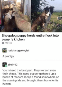 Best, Good, and Home: Sheepdog puppy herds entire flock into  owner's kitchen  Metro  rockhardgeologist  A prodigy  sindri42  You missed the best part. They weren't even  their sheep. This good pupper gathered up a  bunch of random sheep it found somewhere on  the countryside and brought them home for its  human.