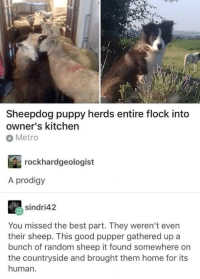 Best, Good, and Home: Sheepdog puppy herds entire flock into  owner's kitchen  Metro  rockhardgeologist  A prodigy  sindri42  You missed the best part. They weren't even  their sheep. This good pupper gathered up a  bunch of random sheep it found somewhere on  the countryside and brought them home for its  human. Now thats a good pupper