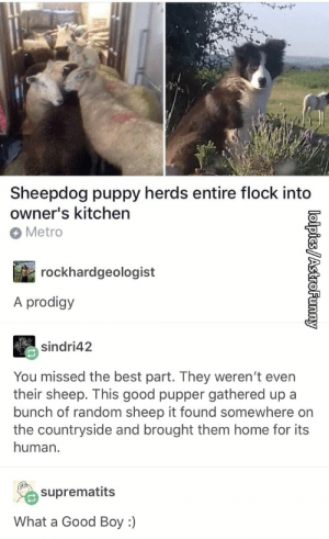 Best, Good, and Home: Sheepdog puppy herds entire flock into  owner's kitchen  Metro  rockhardgeologist  A prodigy  sindri42  You missed the best part. They weren't even  their sheep. This good pupper gathered up a  bunch of random sheep it found somewhere on  the countryside and brought them home for its  human.  suprematits  What a Good Boy :) Best thing I have seen all day