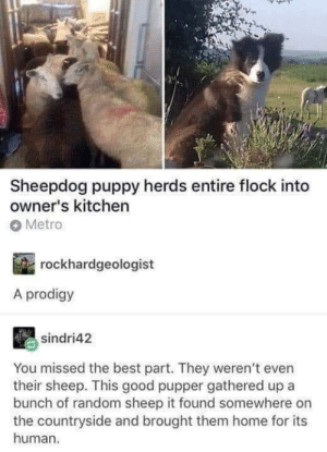 flock: Sheepdog puppy herds entire flock into  owner's kitchen  Metro  rockhardgeologist  A prodigy  sindri42  You missed the best part. They weren't even  their sheep. This good pupper gathered up a  bunch of random sheep it found somewhere on  the countryside and brought them home for its  human