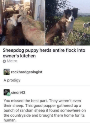 Good boy tried his best: Sheepdog puppy herds entire flock into  owner's kitchern  Metro  rockhardgeologist  A prodigy  sindri42  You missed the best part. They weren't even  their sheep. This good pupper gathered up a  bunch of random sheep it found somewhere on  the countryside and brought them home for its  human. Good boy tried his best