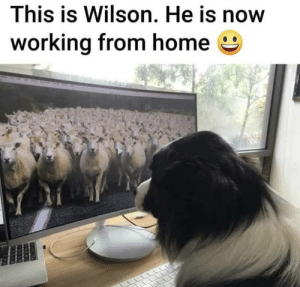 Sheepdog working from home…: Sheepdog working from home…
