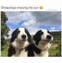 Memes, 🤖, and Freezing: Sheepdogs enjoying the sun  @Drsmashlove This is around the time of year in Chicago where lack of sun exposure leads to chunks of my skin freezing and falling off like I'm some type of leper NeedTheHealingTouchOfJesus OrVacationInMiami ActuallyBoth 😫😂😂😂