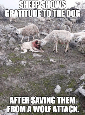 Animals, Memes, and Animal: SHEEPSHOWS  GRATITUDETOTHEDOG  AFTER SAVING THEM  FROM A WOLF ATTACK Animal Memes Of The Day – 52 Pics Ep20 - Lovely Animals World #dog #sheep #wolf #lovelyanimalsworld