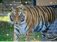 Bad, Bad Day, and Beautiful: Shere Khan  2001- 2018  NOAH  ARK  www.noahs-ark.org It is with shattered hearts that we tell you our precious Shere Khan has joined his brother Leo in Heaven. Test results came in this morning and confirmed there was absolutely nothing else that could be done for our sweet boy, and the kindest gift we could give him was the gift of freedom from the body that was no longer functioning as it should. Shere Khan passed away in the arms of his main caregiver, inside his straw filled tunnel with Baloo nearby. He heard soft words of adoration whispered in his ear and felt the warmth of loving, comforting strokes on his beautiful face as he very peacefully closed his big green eyes and took his last breath.  We are so grateful that Shere Khan was able to live a long, full life at Noah's Ark where he was incredibly loved and spoiled. He had three acres to roam, big beautiful creek to play in, tons of toys and enrichment, an amazing clubhouse with a porch, two loving brothers and humans who absolutely adored him. Since he first arrived at Noah's Ark as a cub in 2001, Shere Khan has never known a bad day, and lived as free and as happy as possible for a tiger in captivity could for over 17 years. It was truly an honor to care for such an amazingly intelligent, beautiful and genuinely loving animal as Shere Khan, and he will be missed every single day.  We have a bereavement plan in place for Baloo and will be monitoring him closely to ensure that loosing his last brother doesn't take an adverse physical toll on his health. He was with Shere Khan this morning every step of the way and will be present for his burial as well, just like he was for Leo's burial. We will be holding a memorial service in celebration of Shere Khan's amazing life in January and will let you know when the date is decided upon.  We cannot thank you enough for your kindness and support during this difficult time, it means the world to us. Thank you all for loving our dear She
