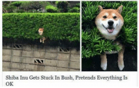 Shiba Inu Gets Stuck In Bush, Pretends Everything Is  OK.