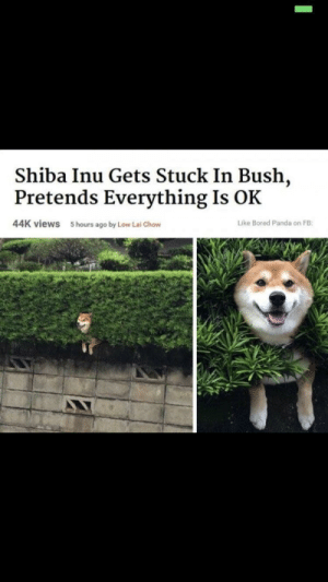 Bad, Bored, and Panda: Shiba Inu Gets Stuck In Bush,  Pretends Everything Is OK  44K views  5 hours ago by Low Lai Chow  Like Bored Panda on FB Good boyes don't notice when things are bad