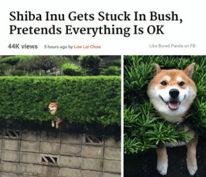 This poor doge (i.redd.it): Shiba Inu Gets Stuck In Bush,  Pretends Everything Is OK  44K views  5 hours ago by Low Lai Chow  Like Bored Panda on FB: This poor doge (i.redd.it)