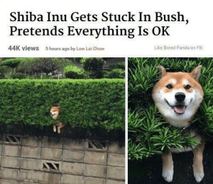 Bored, Dank, and Memes: Shiba Inu Gets Stuck In Bush,  Pretends Everything Is OK  44K views  5 hours ago by Low Lai Chow  Like Bored Panda on FB meirl by JohnQK FOLLOW HERE 4 MORE MEMES.