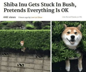 Meirl by zein935 MORE MEMES: Shiba Inu Gets Stuck In Bush,  Pretends Everything Is OK  44K views  Like Bored Panda on FB  5 hours ago by Low Lai Chow Meirl by zein935 MORE MEMES