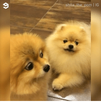 9gag, Introvert, and Memes: shila the_pom | IG When an introvert sees an extrovert By @shila_the_pom - pomeranian dog introvert 9gag