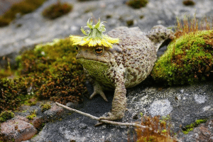 shilol: cookpot:  fatfrogsblog: fashionable [id: a photo of a brown, warty toad with a dandelion flower turned over on its head like a hat. the toad is climbing over some mossy rocks loosely holding a twig in its grasp.]   this toad looks like a wizard who recently purchased a new flashier hat to replace his old shabby one, and he was feeling really confident about it before he left his tower, but he doesn't usually wear such bright colors and now that he's in public he's feeling a bit self conscious about taking this fashion risk : shilol: cookpot:  fatfrogsblog: fashionable [id: a photo of a brown, warty toad with a dandelion flower turned over on its head like a hat. the toad is climbing over some mossy rocks loosely holding a twig in its grasp.]   this toad looks like a wizard who recently purchased a new flashier hat to replace his old shabby one, and he was feeling really confident about it before he left his tower, but he doesn't usually wear such bright colors and now that he's in public he's feeling a bit self conscious about taking this fashion risk