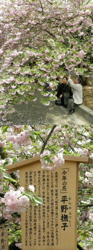 shinjjuku:  大阪の桜。by   Nemo's great uncle: shinjjuku:  大阪の桜。by   Nemo's great uncle
