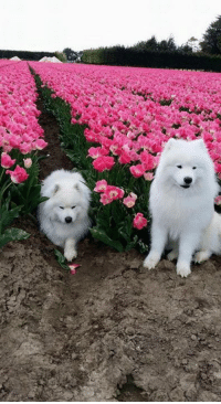 shoob gets sick after eating his way through a field of tulips: shoob gets sick after eating his way through a field of tulips