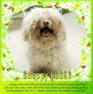 Animals, Desperate, and Dogs: Shoopy 66096  happy little fella with the bestest smile! In need of a good Spa Day  just 8 yrs old, only 13 lbs, this little cutic is waiting for your loving  the Manhattan, NY ACC. Inquire about him now before it is too late!  ...a  arms at **FOSTER or ADOPTER NEEDED ASAP** Snoopy 66696 ... a happy little fella with the bestest smile! In need of a good Spa Day, just 8 yrs old, only 13 lbs, this little cutie is waiting for your loving arms at the Manhattan, NY ACC. Inquire about him now before it is too late!  ✔Pledge✔Tag✔Share✔FOSTER✔ADOPT✔Save a life!  Snoopy 66696  Small Mixed Breed Sex male Age 8 yrs (approx.) - 13 lbs  My health has been checked.  My vaccinations are up to date. My worming is up to date.  I have been micro-chipped.   I am waiting for you at the Manhattan, NY ACC. Please, Please, Please, save me!  **************************************** *** TO FOSTER OR ADOPT ***   If you would like to adopt a NYC ACC dog, and can get to the shelter in person to complete the adoption process, you can contact the shelter directly. We have provided the Brooklyn, Staten Island and Manhattan information below. Adoption hours at these facilities is Noon – 8:00 p.m. (6:30 on weekends)  If you CANNOT get to the shelter in person and you want to FOSTER OR ADOPT a NYC ACC Dog, you can PRIVATE MESSAGE our Must Love Dogs - Saving NYC Dogs page for assistance. PLEASE NOTE: You MUST live in NY, NJ, PA, CT, RI, DE, MD, MA, NH, VT, ME or Northern VA. You will need to fill out applications with a New Hope Rescue Partner to foster or adopt a NYC ACC dog. Transport is available if you live within the prescribed range of states.  Shelter contact information: Phone number (212) 788-4000 Email adopt@nycacc.org  Shelter Addresses: Brooklyn Shelter: 2336 Linden Boulevard Brooklyn, NY 11208 Manhattan Shelter: 326 East 110 St. New York, NY 10029 Staten Island Shelter: 3139 Veterans Road West Staten Island, NY 10309 **************************************  NOTE:  WE HAVE NO OTHER INFORMATION THAN WHAT IS LISTED WITH THIS FLYER.  ************************************** RE: ACC site Just because a dog is not on the ACC site does NOT necessarily mean safe. There are many reasons for this like a hold or an eval has not been conducted yet or the dog is rescue-only... the list goes on... Please, do share & apply to foster/adopt these pups as well until their thread is updated with their most current status. TY! ****************************************** About Must Love Dogs - Saving NYC Dogs: We are a group of advocates (NOT a shelter NOR a rescue group) dedicated to finding loving homes for NYC dogs in desperate need. ALL the dogs on our site need Rescue, Fosters, or Adopters & that ASAP as they are in NYC high-kill shelters. If you cannot foster or adopt, please share them far & wide. Thank you for caring!! <3 ****************************************** RESCUES: * Indicates New Hope Rescue partner is accepting applications for fosters and/or adopters. http://www.nycacc.org/get-involved/new-hope/nhpartners ****************************************** https://www.nycacc.org/adopt/snoopy-66696 ++++ http://nycaccpets.shelterbuddy.com/animal/animalDetails.asp?s=adoption&searchTypeId=4&animalType=3%2C16&datelostfoundmonth=6&datelostfoundday=23&datelostfoundyear=2019&tpage=8&find-submitbtn=Find+Animals&pagesize=16&task=view&searchType=4&animalid=100037 ++++ Beamer Maximillian Carolin Hocker Caro Hocker