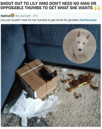Memes, Home, and Puppy: SHOUT OUT TO LILY WHO DON'T NEED NO MAN OR.  OPPOSABLE THUMBS TO GET WHAT SHE WANTS  HellCat@CutieCatB 21h  Lily just couldn't wait for her humans to get home for goodies GET IT GURL 🙌👏💪 barkboxday independent puppy opposablethumbs dog excited yaskween yaskanine