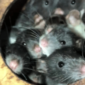 Adorable, Baby, and Day: Show someone these adorable baby rats to make their day! 🐁😍