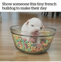 This is the cutest thing I've ever seen 😍: Show someone this tiny french  bulldog to make their day This is the cutest thing I've ever seen 😍