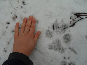 "shrewreadings:  weasowl:  weasowl:  laylainalaska:  While walking the dog yesterday, we found the tracks of a pack of wolves that had passed across the edge of our property. (I live out in the highway in Alaska.) I took a picture of my hand next to a wolf track for comparison.  Now here's a picture of my hand with one of our dog's tracks: And he's not an especially small dog; he's a 55-lb retriever mix. And the dog's tracks next to wolf tracks: Wolves are huge.  dude, i'm tellin you, for realSometimes people ask if my klee kai is a wolf, like, seriously. And I'm always like oh no, ha ha he kind of looks like one, though, hunh? But inside I'm always like ""uh, my dog weighs thirty pounds, wolves weigh more than me and my dog put together – if he was a wolf you wouldn't be asking if he was a wolf, you'd be peeing your pants and demanding we leave"" like, a wolf is as tall when lying down as most dogs are standing.here, see for yourself. Labs are a very dog-sized dog, wouldn't you say? Check this out (this is a wolf in Alaska that found an unfenced dog park and slowly over the course of months learned how to hang out and have fun with the dogs)  SO BIG THO - here, have some more examples  I love how wolves & humans - so disparately sized - looked at each other and said, 'Huh. That looks friend-shaped.' : shrewreadings:  weasowl:  weasowl:  laylainalaska:  While walking the dog yesterday, we found the tracks of a pack of wolves that had passed across the edge of our property. (I live out in the highway in Alaska.) I took a picture of my hand next to a wolf track for comparison.  Now here's a picture of my hand with one of our dog's tracks: And he's not an especially small dog; he's a 55-lb retriever mix. And the dog's tracks next to wolf tracks: Wolves are huge.  dude, i'm tellin you, for realSometimes people ask if my klee kai is a wolf, like, seriously. And I'm always like oh no, ha ha he kind of looks like one, though, hunh? But inside I'm always like ""uh, my dog weighs thirty pounds, wolves weigh more than me and my dog put together – if he was a wolf you wouldn't be asking if he was a wolf, you'd be peeing your pants and demanding we leave"" like, a wolf is as tall when lying down as most dogs are standing.here, see for yourself. Labs are a very dog-sized dog, wouldn't you say? Check this out (this is a wolf in Alaska that found an unfenced dog park and slowly over the course of months learned how to hang out and have fun with the dogs)  SO BIG THO - here, have some more examples  I love how wolves & humans - so disparately sized - looked at each other and said, 'Huh. That looks friend-shaped.'"