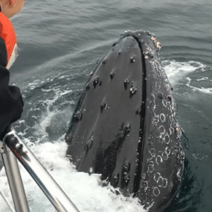 """Animals, Beautiful, and Love: shuna-sassi:  mylestring:  why-animals-do-the-thing:  gossipinglawns:  honeysucker:   swdyww:  Love u  This gave me shivers if I ever saw a whale this close in the wild  I would like transcend   This video is so fuckig beautiful…….  This is my favorite """"close whale experience"""" video because nobody even tried to touch the whale.   THIS ^^^^^^^^^^^^^^   I would cry this is so pretty"""